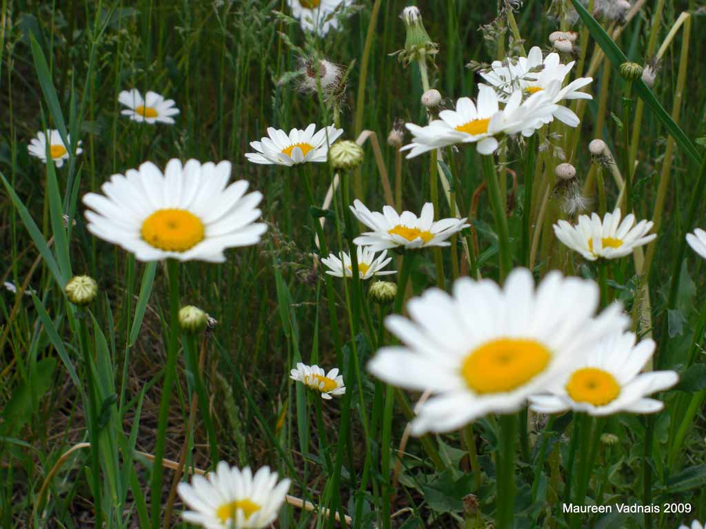Agriculture and forestry pest selector ox eye daisy flowers izmirmasajfo