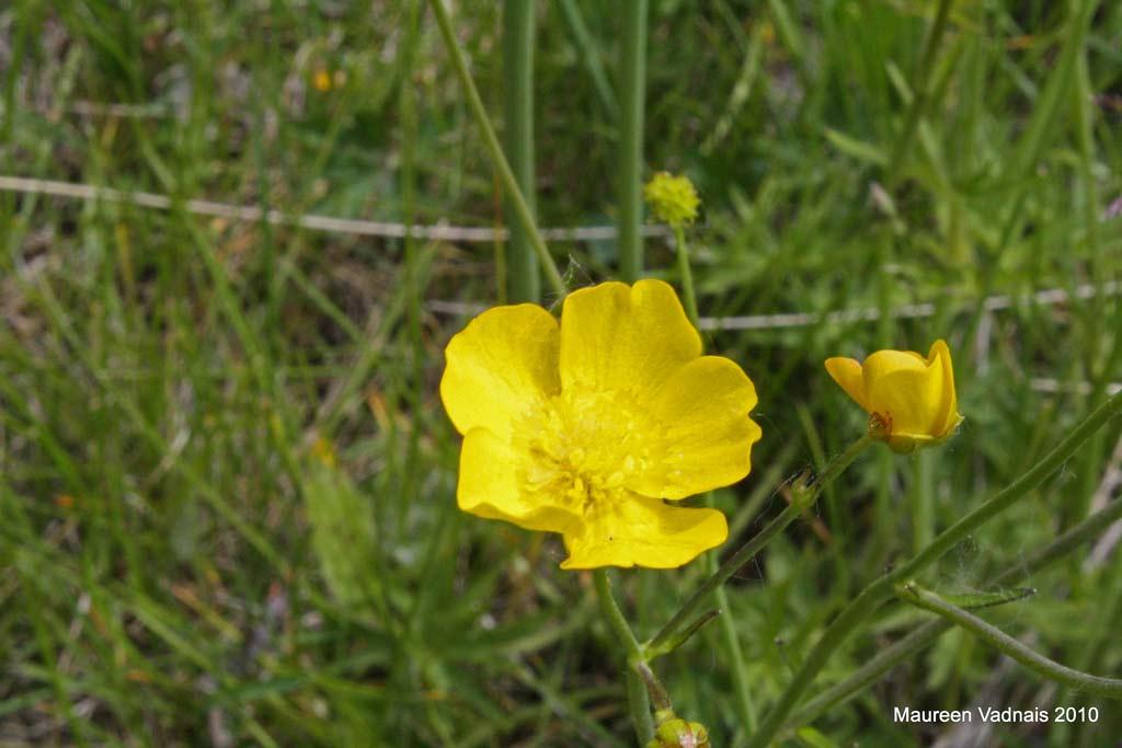Buttercup Flower Meaning Tall Buttercup Flower